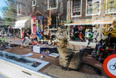 Cat in a showcase, Amsterdam — Stock Photo
