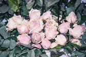 Schöne vernichtenden rosen — Stockfoto