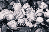 Beautiful withering roses — Stockfoto