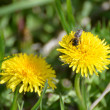 Royalty-Free Stock Photo: Dandelions and bee