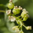 Unripe currant — Stock Photo #22849332