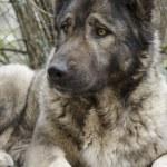 Caucasian dog — Stock Photo