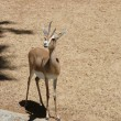 Antelope looking away — Stock Photo