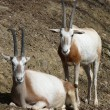 Stock Photo: Oryx couple resting