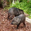 Stock Photo: Two small boar playing in forest