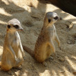 Stock Photo: Two meerkats in sand