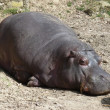 A hippo sleeping, skin detail — Stock Photo