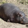 A hippo sleeping, skin detail — Stock Photo #27574295
