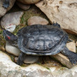 Stock Photo: Turtle lying on stones