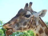 Giraffe close-up on head, open mouth — Stock Photo