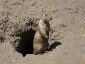A prairie dog outside his burrow — Stock Photo