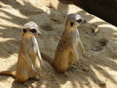 Two meerkats in the sand — Stock Photo