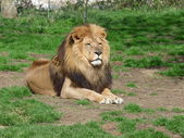 A proud lion sitting in the grass — Stock Photo