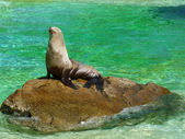 A sea lion sunbathing on a rock — Stock Photo