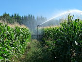 A sprayer spraying water in a cornfield — Stock Photo