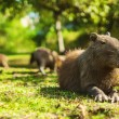 Capybara relaxed (Hydrochoerus hydrochaeris) — Stock Photo #25398533