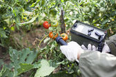 Measuring radiation levels of tomato — Stock Photo