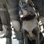 Police dog — Stock Photo #24119551
