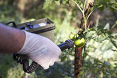 Measuring radiation levels of tomato — Stock Photo
