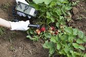 Medición de los niveles de radiación de fresas — Foto de Stock