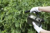 Measuring radiation levels of green beans — Stock Photo