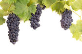 Ripe dark grapes with leaves — Stockfoto