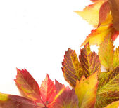 Colorful leaves isolated on white — Stock fotografie