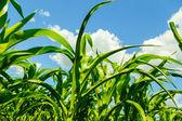 Vue du bas de germes de maïs — Photo