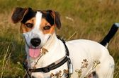 Jack Russel Terrier — Stock Photo