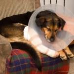 Sick dog, dog shot, — Stock Photo #22113571