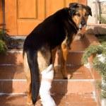 Sick dog, dog shot, — Stock Photo #22113575