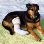 Sick dog, dog shot, — Stock Photo #22113581