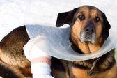 Sick dog, dog shot, — Stock Photo