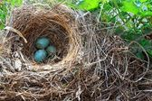 Abandoned nest of the Blackbird (Turdus merula) with three sea-green eggs. — Stock Photo