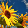 Bee collects nectar on sunflower, blue sky — Stock Photo
