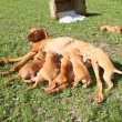 Magyar Vizsla - female dog with puppies - Stockfoto