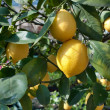 Lemons growing on lemon tree — Stock Photo