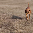 Viszla dog running fast to catch a tennis ball — Stock Photo #22925064