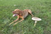 Pies Znalezione grzyby jadalne (jak czubajka kania, Czubajeczka Kania) — Zdjęcie stockowe