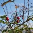 Briar, wild rose hip shrub in nature, autumn view, Fructus cynosbati — Stock Photo #34302327