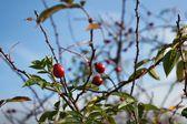 Briar, wild rose hip shrub in nature, autumn view, Fructus cynosbati — Stock Photo
