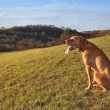Magyar Vizslhunting dog, autumn evening — Stock Photo #35018177