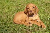 Sad puppy lying in the grass, Hungarian Pointer, Vizsla — Stock Photo