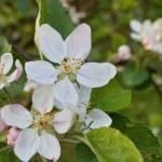 Постер, плакат: Apple blossom flowering apple tree