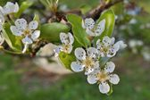 Pear blossom, flowering pear tree — Stock Photo