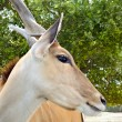 Eland antelope — Stock Photo