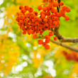 Bunch of rowan — Stock Photo