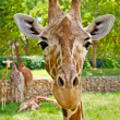 Portrait of a giraffe looking straight at the camera. — Stock Photo