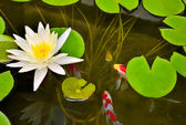 Pond with white waterlily and koi fish. — Stock Photo
