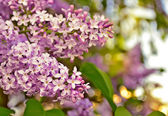 Kvetoucí šeříky. — Stock fotografie